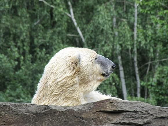 Eisbär Knut sonnt sich, Zoo Berlin